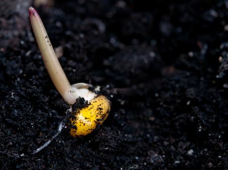germinaci�n: close up de la germinaci�n de ma�z en suelo f�rtil Foto de archivo