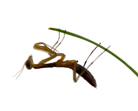 mantodea: praying mantis isolated on a white background