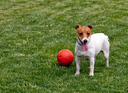 russel: jack russel on spring field Stock Photo