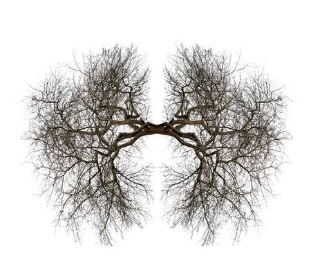 lung bronchus: tree lungs isolated on white Stock Photo