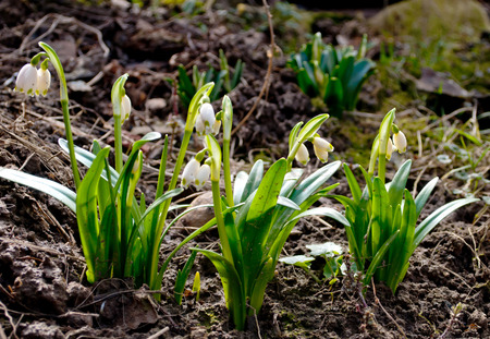 desolated: Spring flowers, snowdrops
