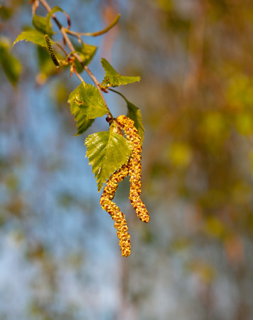 white birch tree: catkins (buds) on a white birch tree in early spring