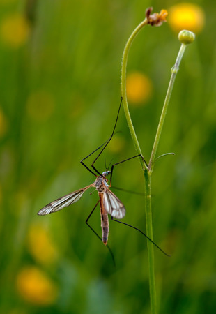 culicidae: mosquito nematocera on grass, on green background Stock Photo