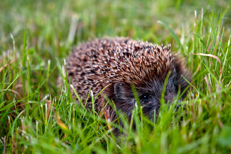 spiny: Little spiny hedgehog on a green grass