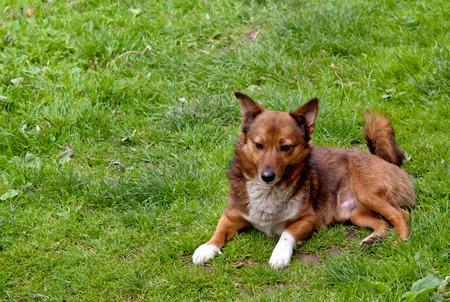 obedience: animales, animales domésticos, mamífero, doméstico, perro, aislado, verde, blanco, césped, sentado, hierba, obediencia, uno, lindo, pequeño, cariñoso, joven, fondo, canino