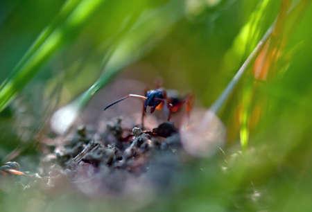 hormiga hoja: Hormiga en la hierba en la hoja verde Foto de archivo