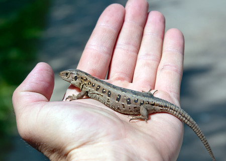 lacerta: the lizard (Lacerta agilis) on men hand