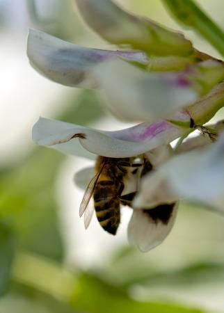 kerf: a bee is a kerf a flower Stock Photo
