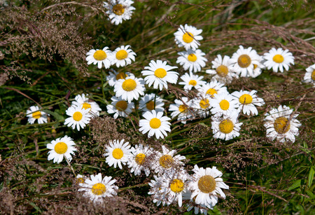 a chamomile flower. Close up Stock Photo