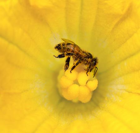 feeler: busy honey bee collecting pollen on golden yellow pumpkin flower