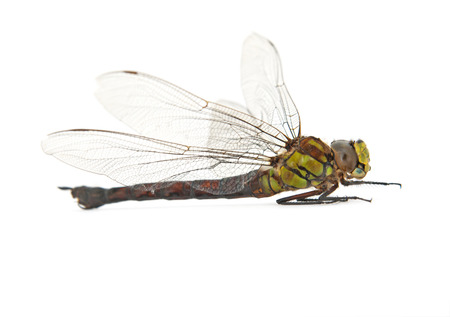 decomposition: dead dragonfly isolated on white Stock Photo