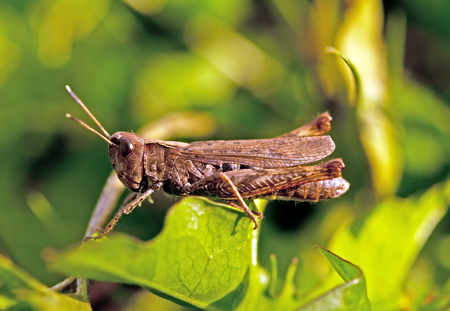 chorthippus: a grasshopper on leaf. Close up