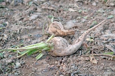 remolacha: una agricultura cosecha de remolacha azucarera