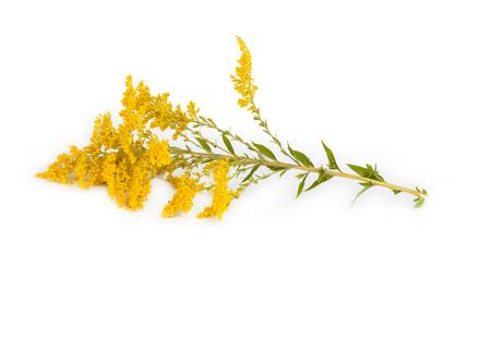 goldenrod: Golden Rod Solidago virgaurea flower isolated on white background