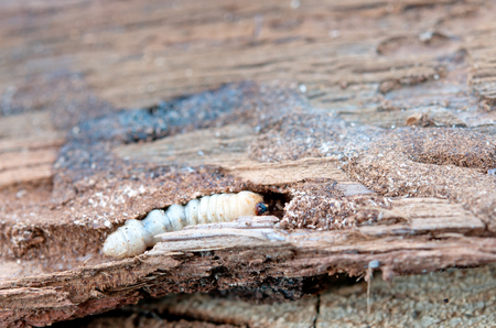little woodworm lies on tree