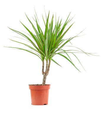 dracaena: dracaena decoration in a flower pot isolated on white