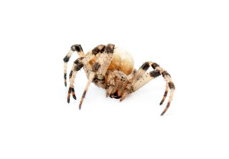crucify: cross spider isolated on white