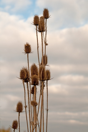 prickles: prickles on background of sky in autumn