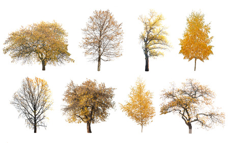 huge tree: autumn trees isolated on white background