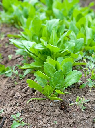 growing: fresh spinach, growing in garden