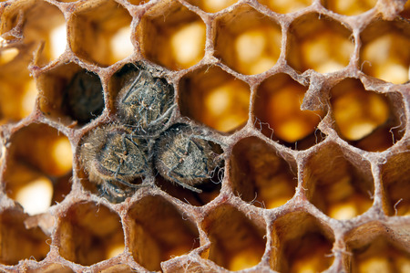 dead bees covered with dust and mites on an empty honeycomb Stock Photo
