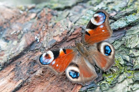 nymphalis: european peacock butterfly sitting on tree bark Stock Photo