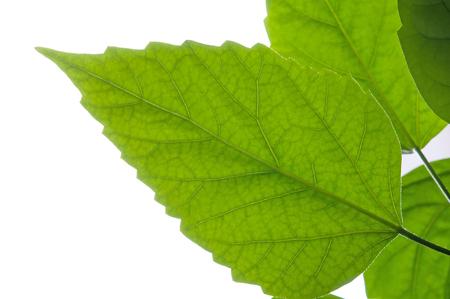 albero della vita: Foglia verde. Isolato su un bianco