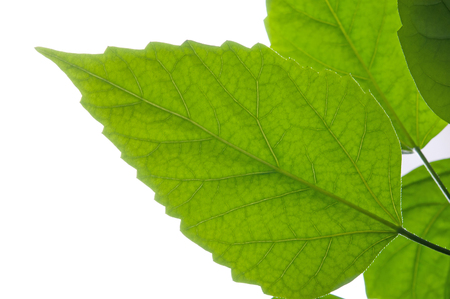 green apple: Green leaf. Isolated on a white