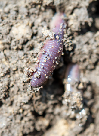 earthworms: earthworm in soil (Eisenia fetida)