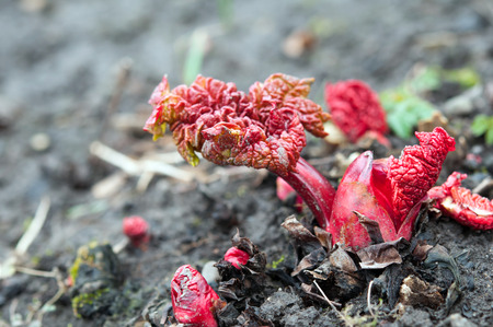 rheum: rhubarb stalks growing up from the bare soil