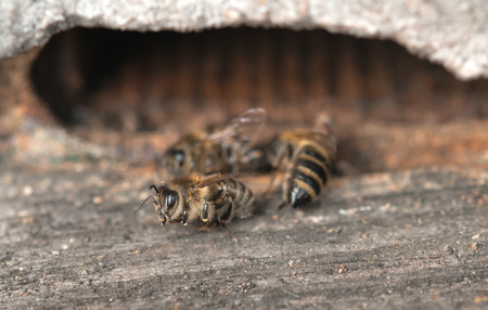 mellifera: dead bees showing many details of body Stock Photo