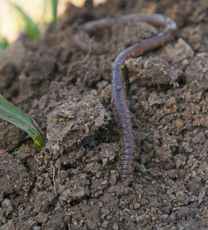 lombriz de tierra: lombriz de tierra en el suelo - tiro del primer