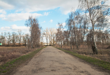 birch trees: birch trees along the road