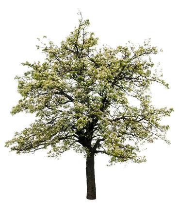 bloeiende perenboom geïsoleerd op een witte achtergrond
