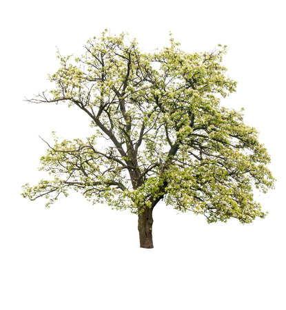 flowering pear tree isolated on white background