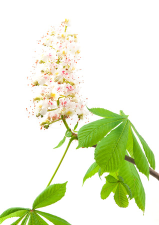 conker: Horse-chestnut (Aesculus hippocastanum, Conker tree) flowers and leaf on a white background