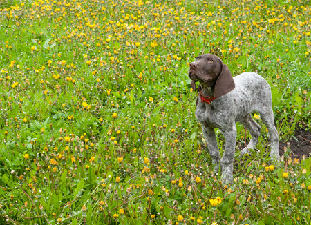 shorthaired: puppy running in the dandelions - german shorthaired pointer puppy