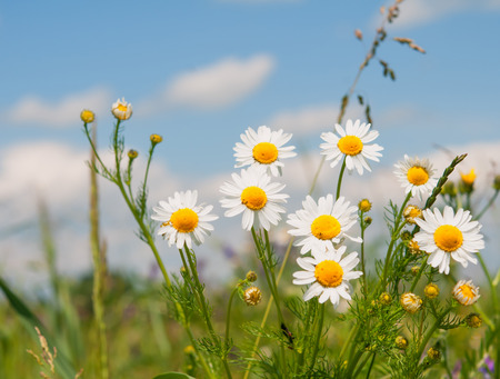 chamomile flower: a chamomile flower. Close up Stock Photo