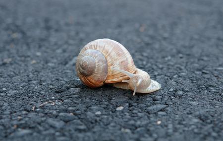 a situation alone: snail trail on asphalt, single snail