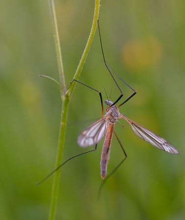 tipulidae: mosquito nematocera on grass, on green background Stock Photo