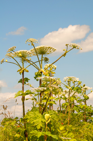 parsnip: cow parsnip along trees in summer
