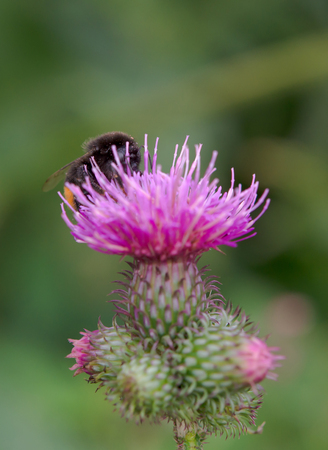 thistle plant: bumblebee finding nectar on a thistle plant
