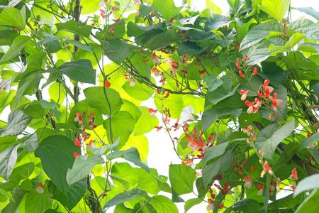 runner bean: Runner beans Latin name Phaseolus coccineus Enorma