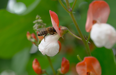 apis: bee collects nectar from a flower bean