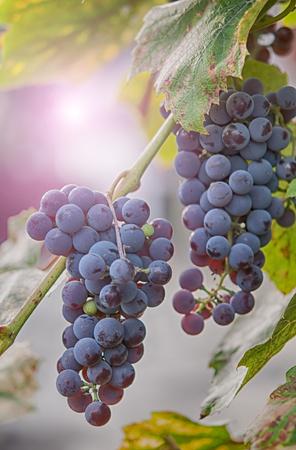 a sun Setting on Grapes. Close up Stock Photo