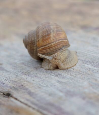 2 way: Helix pomatia, common names the Burgundy snail, Roman snail, edible snail or escargot