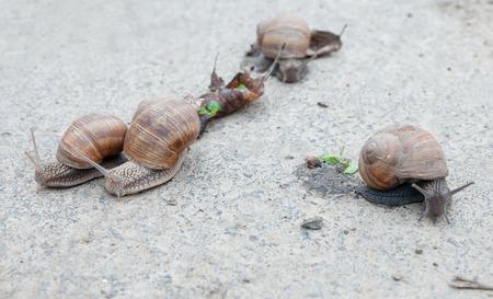 edible snail: burgundy snail (Roman snail, edible snail, escargot) (Helix pomatia) on the road