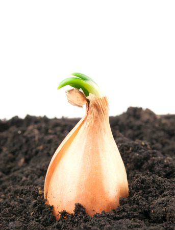 grown up: organically grown onions. Close up