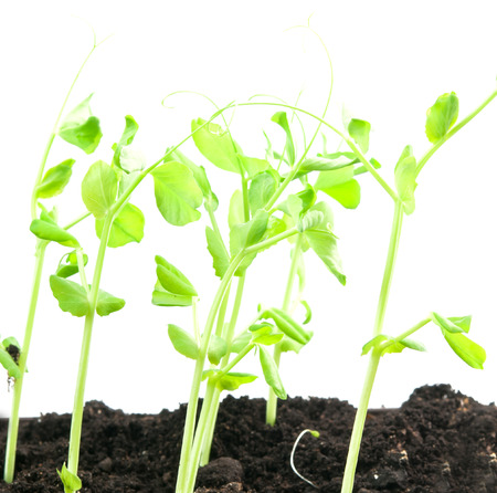 plant peas and soil, isolated on white background