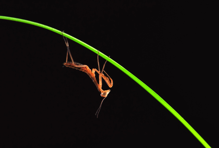 mantis isolated on a black background